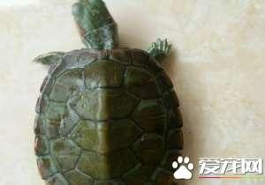 乌龟脱皮怎么回事 乌龟脱皮是一种正常现象